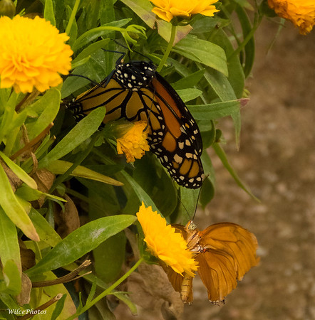 Monarch Butterfly (Photo #4336)