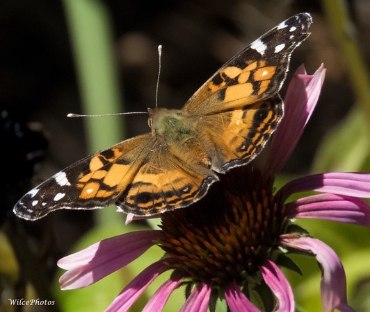 Painted Lady on Spent Echinacea