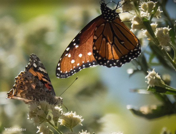 Painted Lady and Queen Butterflies