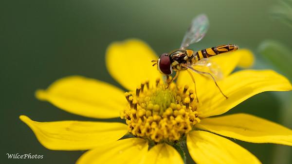 HoverflyOnSunflower; (Photo #P9028736)