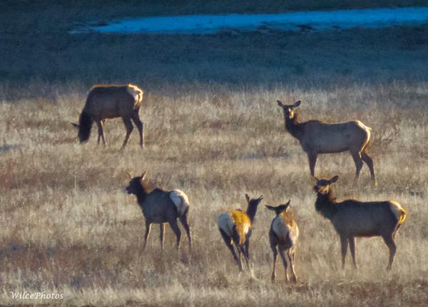 A-Mammals; ElkHerd; LakeMary; 4556; C2PSD5
