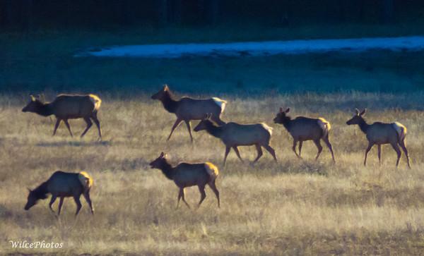 A-Mammals; ElkHerd; LakeMary;IMG_4558 C2PSD6