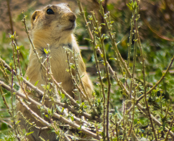 Gunnison's Prairie Dog Upright