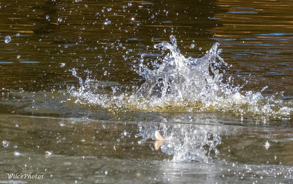 SplashPost-Duck-Dive; FrancesShortPond; 3889