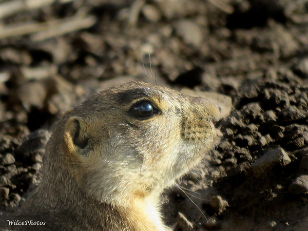 Prairie Dog Profile