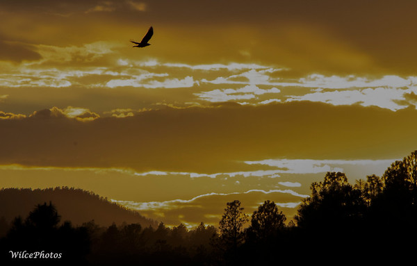 CorvidFlyingThroughBrilliantSunset; (Photo #0894)