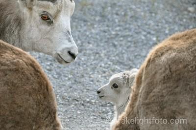 Stone Mtn Sheep