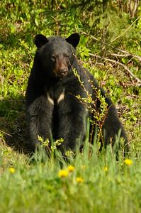 Black Bear along John Hart Hwy