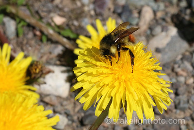 Bee on a Dandilion