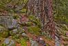 Rocky Terrace For Giant Fir - Canyon Creek
