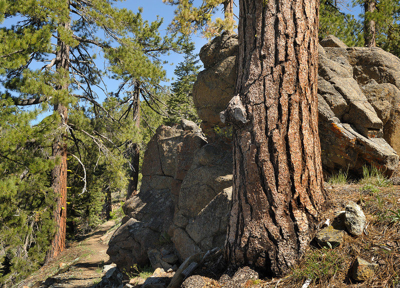 Jefferey Pines and Pacific Crest Trail Near Parks Creek Trailhead