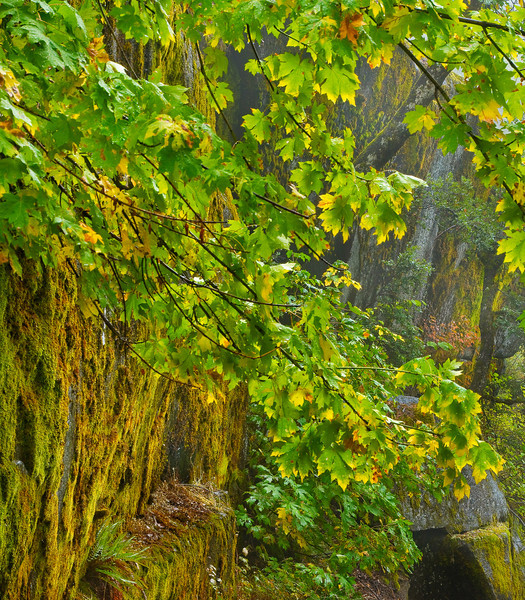 Cliff Dwellers - Moss_Maples & Ferns - Canyon Creek