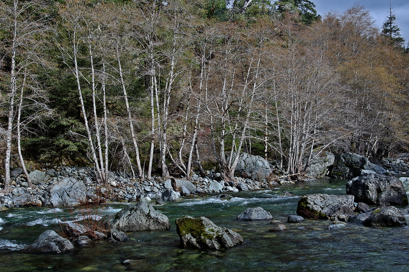 Bare Alders Along South Fork Smith River Near Buck Creek