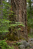 Douglas Fir by Canyon Creek Trail