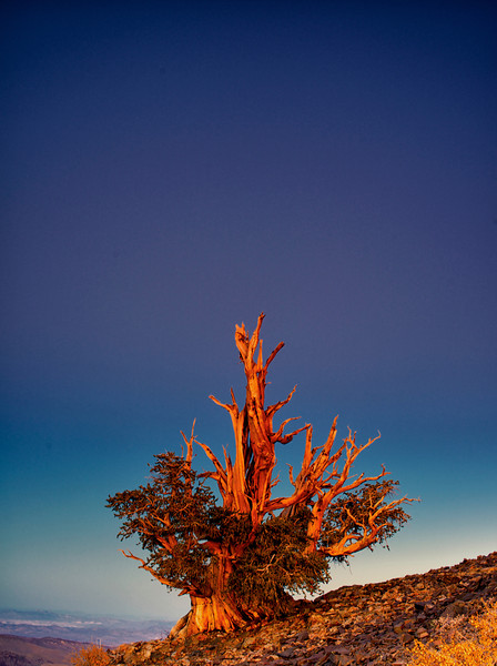 Bristlecone Ends Another Day