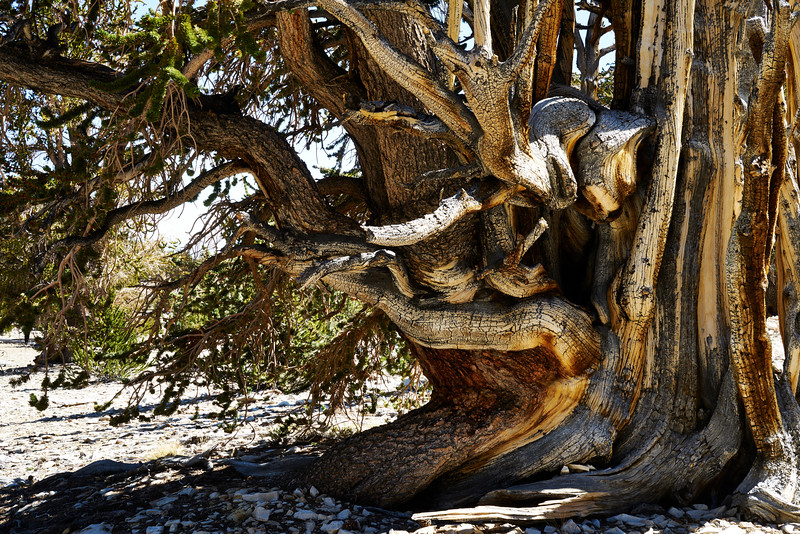 Intertwined Bristlecone