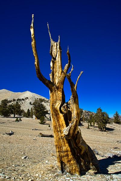 Bristlecone Ancestor Tree