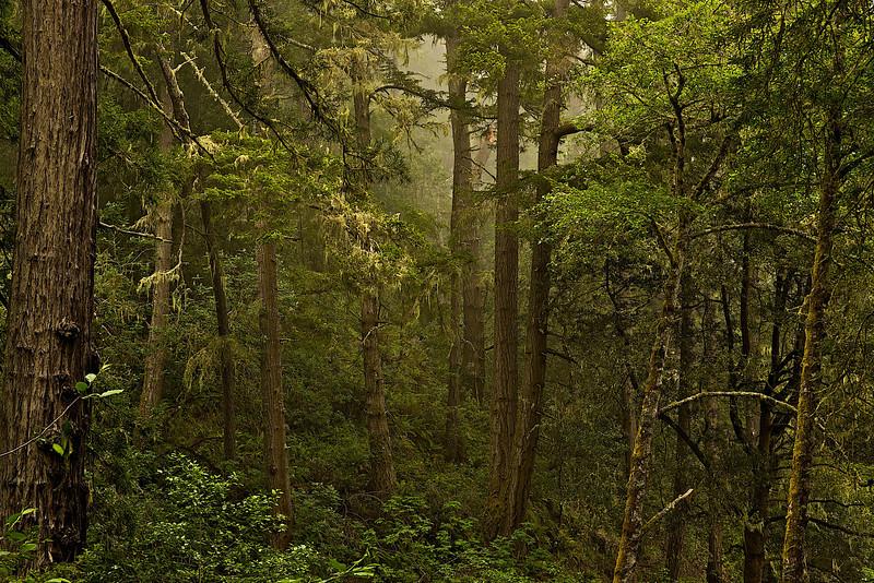 Jenner gulch forest II