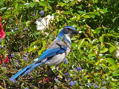 Western Scrub Jay in the Japanese Tea Garden of Golden Gate Park