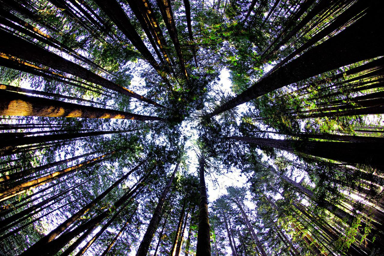 The Tall Coastal Redwoods