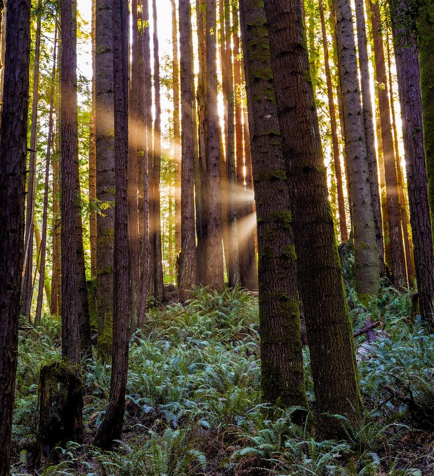 Sunshine around Coastal Redwoods