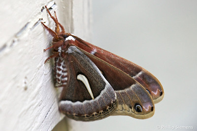 Monster moth
