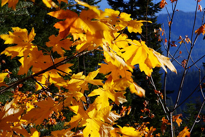 Autumn Leaves Plumas County California