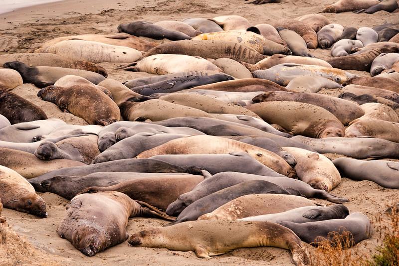 Elephant Seal Siesta