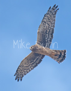 Northern Harrier-11
