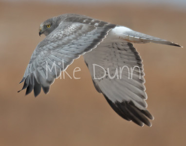 Northern Harrier-12