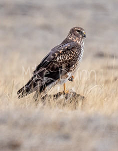 Northern Harrier-45
