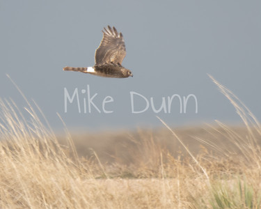 Northern-Harrier-9
