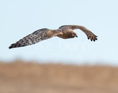 Northern Harrier-19