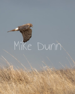 Northern-Harrier-10