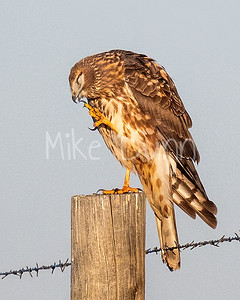 Northern Harrier-41
