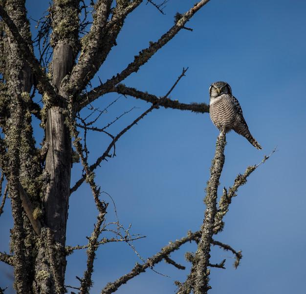 Northern Hawk Owl 9b (12-2017)