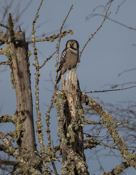 Northern Hawk Owl 10 (12-2017)