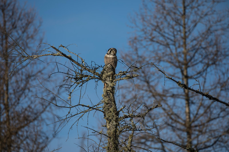 Northern Hawk Owl 15 (12-2017)