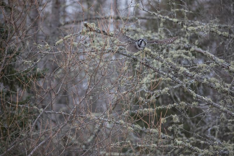 Northern Hawk Owl 4 (12-2017)