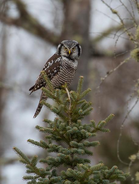 Northern Hawk Owl 8 (12-2017)