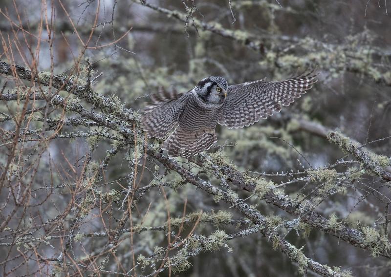 Northern Hawk Owl 6 (12-2017)
