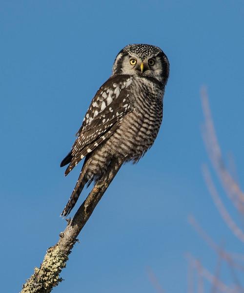 Northern Hawk Owl 14b (12-2017)