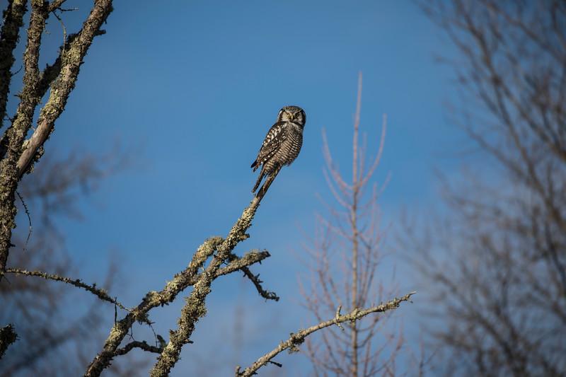 Northern Hawk Owl 14 (12-2017)