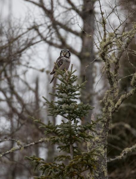 Northern Hawk Owl 7 (12-2017)