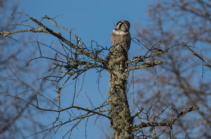 Northern Hawk Owl 16 (12-2017)