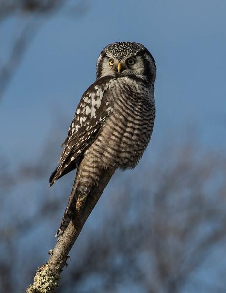 Northern Hawk Owl 13 (12-2017)