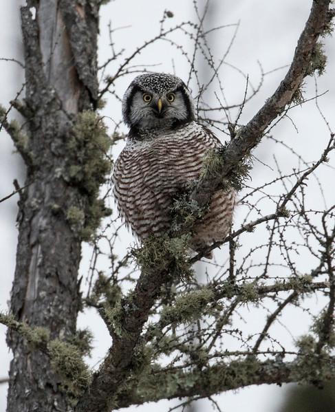 Northern Hawk Owl 2 (12-2017)