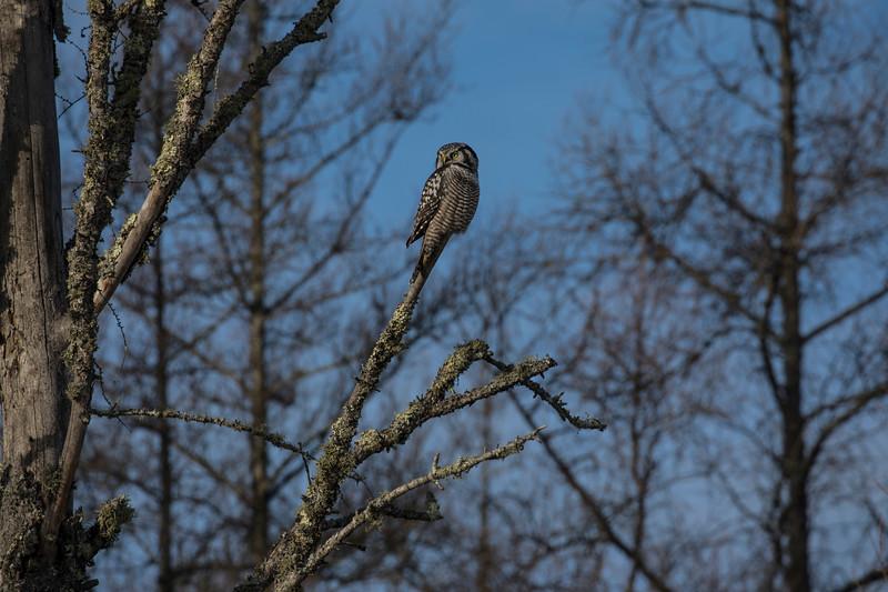 Northern Hawk Owl 11 (12-2017)