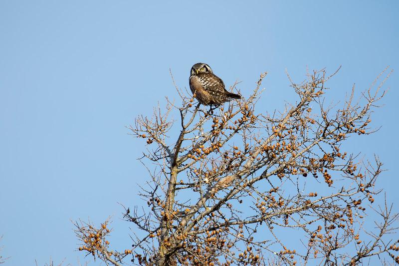 Northern Hawk Owl 1 (1-2017)