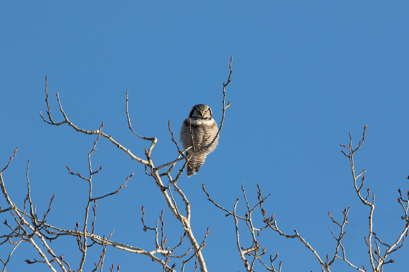 Northern Hawk Owl 2 (1-2017)